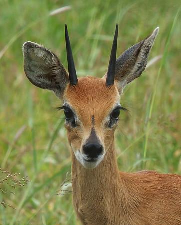Steenbok Portrait, Kruger National Park, South Africa