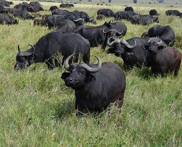 Cape Buffalo 2, Serengeti National Park, Tanzania