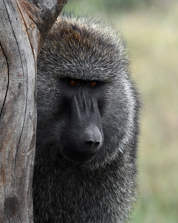 Olive Baboon 2, Portrait, Serengeti National Park, Tanzania