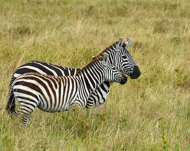Zebra Adult and Juvenile, Serengeti National Park, Tanzania