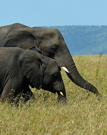 African Elephant Mom & Daughter, Serengeti National Park, Tanzania