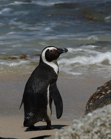 African Penguin 4, Boulders Beach, South Africa