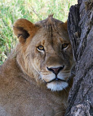Lioness Portrait 1, Serengeti National Park, Tanzania