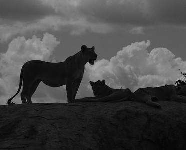 Lions On Kopjes, B&W, Serengeti, Tanzania