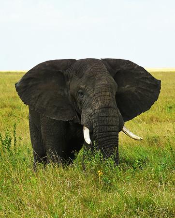 African Elephant 2, Serengeti National Park, Tanzania