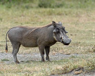 Warthog, Ngorongoro Crater National Park, Tanzania