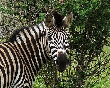 Burschell's Zebra Portrait, Kruger National Park, South Africa