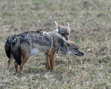 Jackals, Ngorongoro Crater National Park, Tanzania