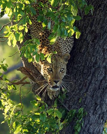 Descending Leopard, Kruger National Park, South Africa