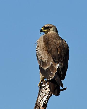 Tawny Eagle, Serengeti National Park, Tanzania