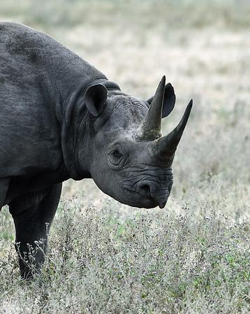 Black Rhino 2 Portrait, Ngorongoro Crater National Park, Tanzania