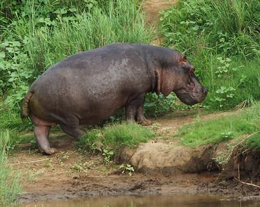 Hippo, Sabie River, Kruger national Park, South Africa
