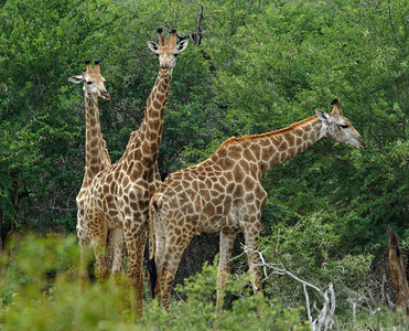 Triple Giraffes, Kruger National Park, SA