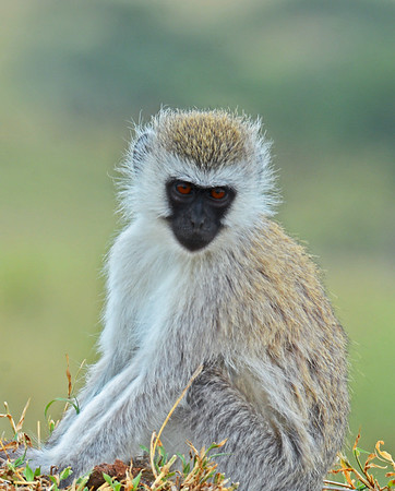 Vervet Monkey Portrait, Serengeti National Park, Tanzania