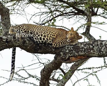 Leopard 7, Serengeti National Park, Tanzania