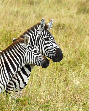 Zebra Adult and Juvenile Portrait, Serengeti National Park, Tanzania