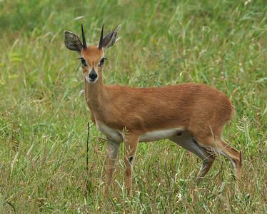 Steenbok, Kruger National park, South Africa