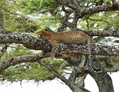 Leopard 6, Serengeti National Park, Tanzania