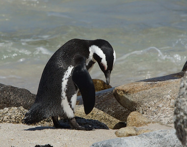 African Penguin 7, Boulders Beach, South Africa