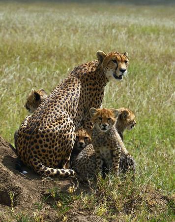 Cheetah With Cubs 1, Portrait, Serengeti, Tanzania
