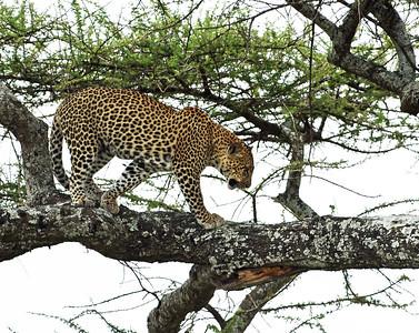 Leopard 2, Serengeti National Park, Tanzania