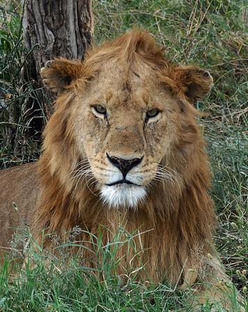 Lion Portrait, Serengeti National Park, Tanzania