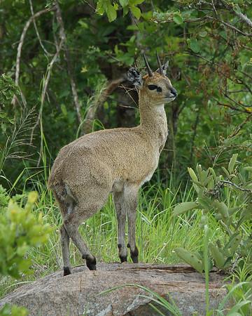 Klipspringer, Kruger National Park, South Africa