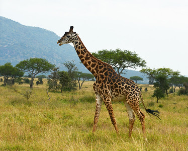 Masai Giraffe, Serengeti National Park, Tanzania