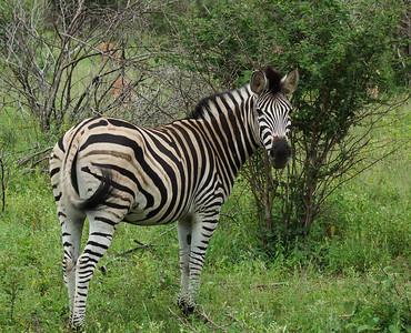 Burschell's Zebra, Kruger National Park, South Africa