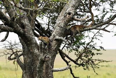 Leopard Brothers, Serengeti National Park, Tanzania