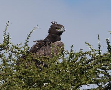 Snake Eagle, Serengeti National Park, Tanzania