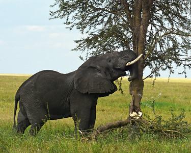 African Elephant Bull, Serengeti, Tanzania