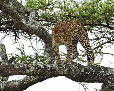 Leopard 3, Serengeti National park, Tanzania