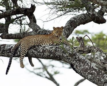 Leopard 1, Serengeti National Park, Tanzania