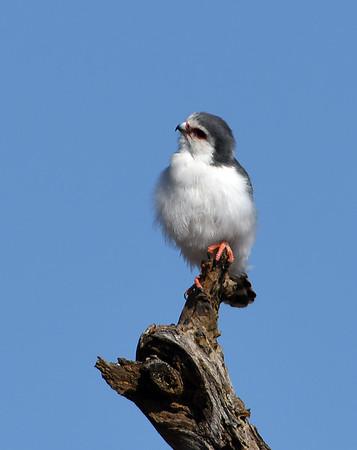 Pygmy Falcon, Ngorongoro Crater National Park, Tanzania