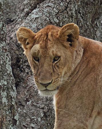 Lioness Portrait 2, Serengeti National Park, Tanzania