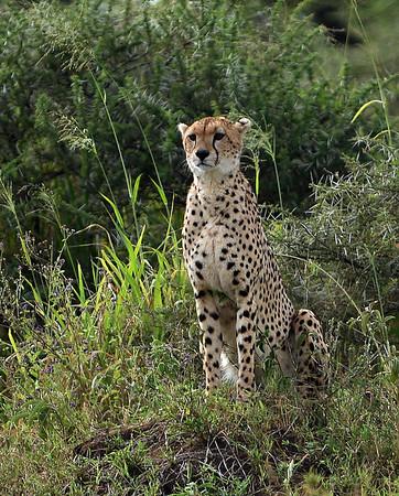Cheetah 2, Serengeti National Park, Tanzania