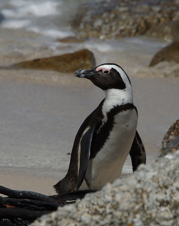 African Penguin 8, Boulders Beach, South Africa