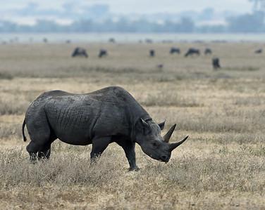 Black Rhino 4, Ngorongoro Crater National Park, Tanzania