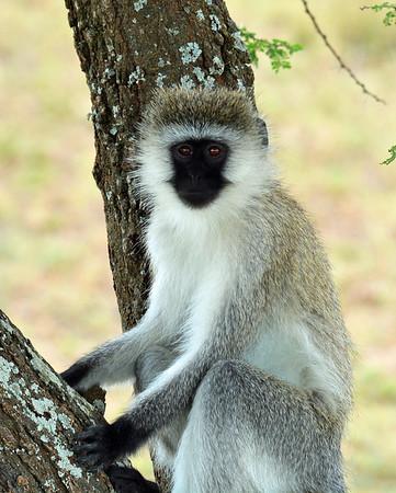 Vervet Monkey 3, Serengeti, Tanzania
