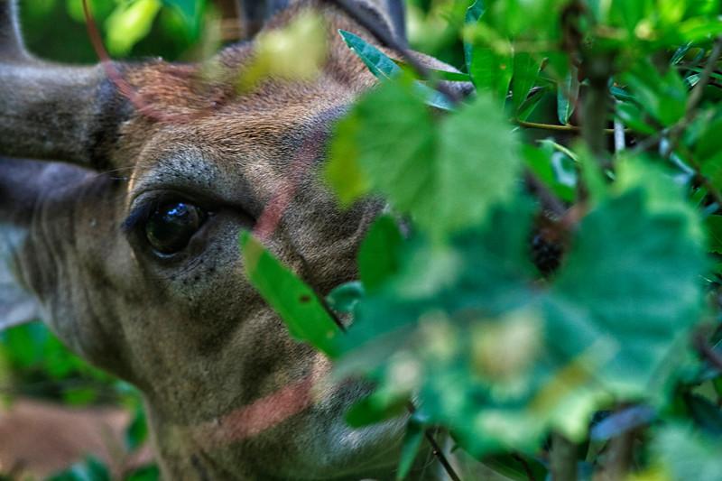 Deer on Kiawah Island.