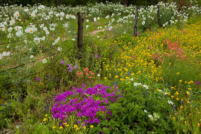 Texas wildflowers 096