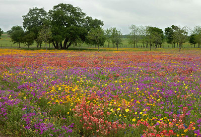 Texas wildflowers 816