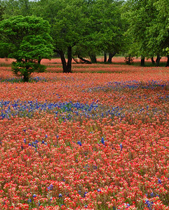 Texas wildflowers 365