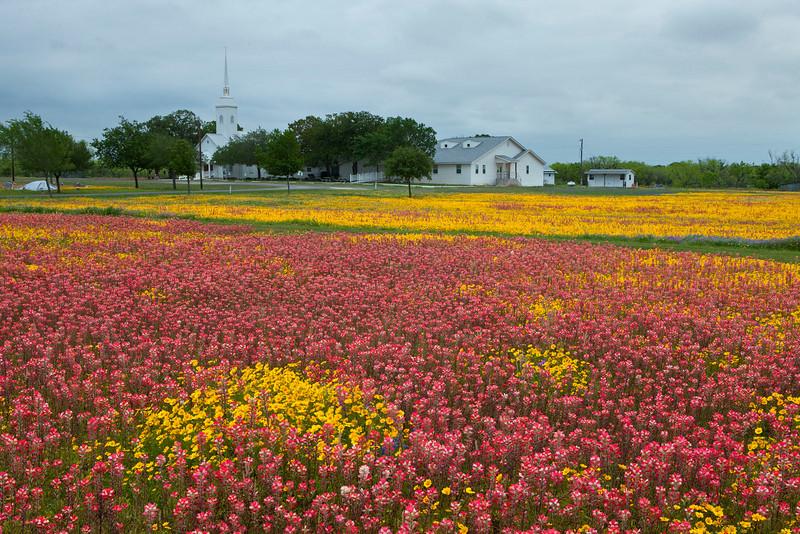 Texas wildflowers 506