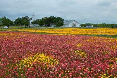 Texas wildflowers 506