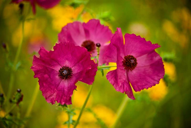Texas wildflowers pink primrose