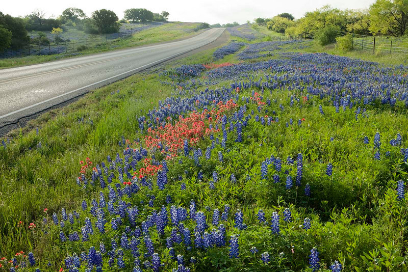 Texas wildflowers 212