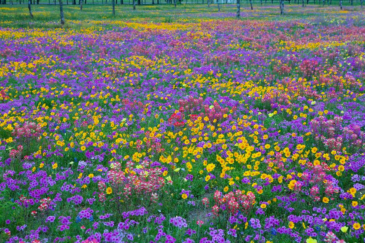 Texas wildflowers 527