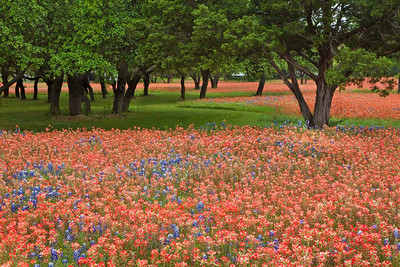 Texas wildflowers 369